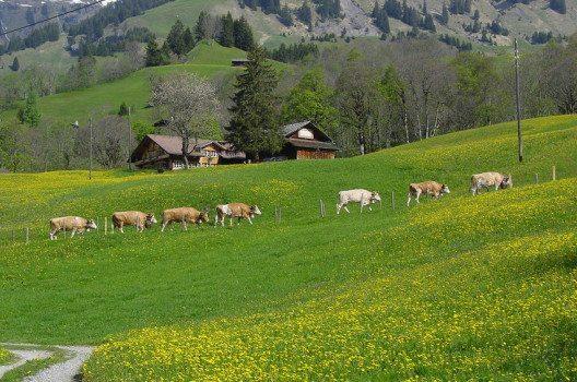 Alpaufzug im Berner Oberland (Bild: BAHA, Wikimedia, GNU)