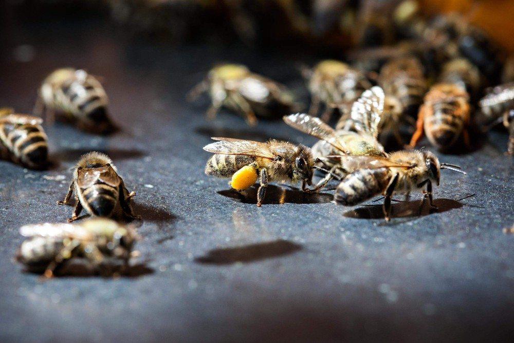 Es ist bekannt, dass Bienen eine tragende Rolle im Ökosystem zukommt.