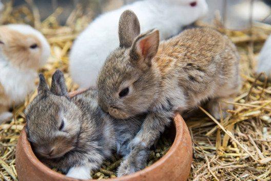 Auch Kleintierzücher sind auf der Thurgauer Frühjahrsmesse vertreten. (Bild: © Russamee - shutterstock.com)