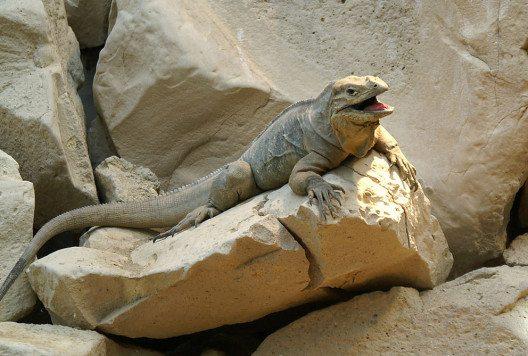 Nashornleguan im Tierpark Dählhölzli (Bild: Staycoolandbegood, Wikimedia, public domain)