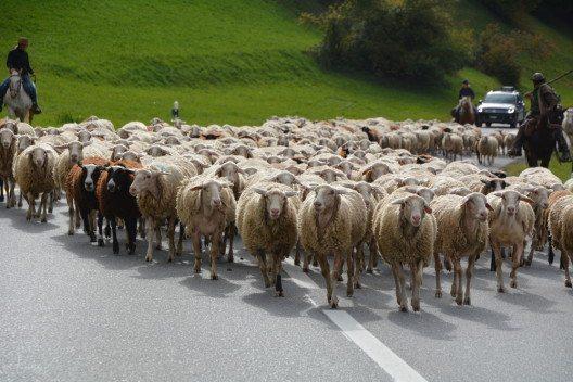 Schafschur in Savognin mit vielfältigem Programm. (Bild: © Sera Gio)