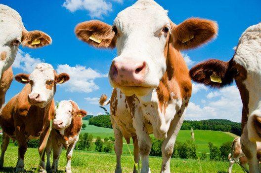 Simmentaler Kühe (Bild: Dieter Hawlan – Shutterstock.com)